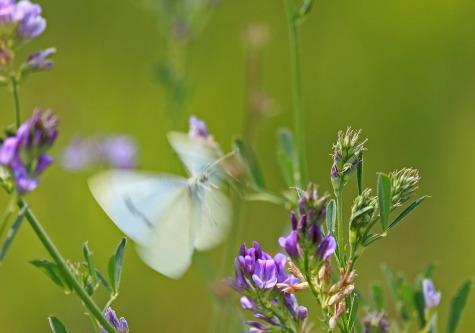 D-48-243 - Cabbage White Butterfly. Caseville, MI.
