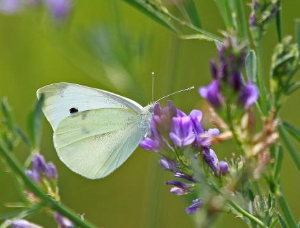 D-48-244 - Cabbage White Butterfly. Caseville, MI.