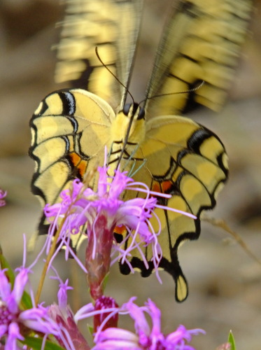 D-48-246 - Giant Swallowtail Butterfly. Port Crescent State Park Day Use Area. Port Austin, MI.