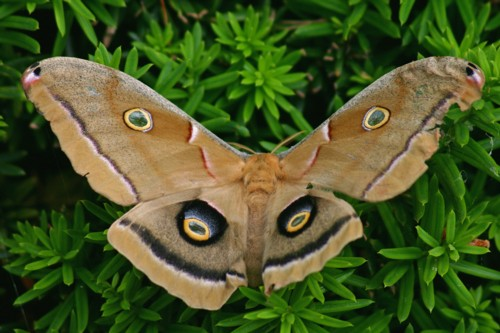 D-48-25 - Polyphemus Moth. Caseville, MI.