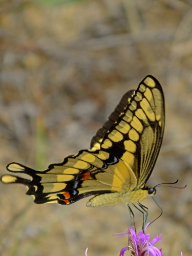 D-48-250 - Giant Swallowtail Butterfly.
