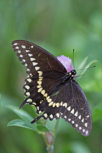 D-48-263 - Black Swallowtail Butterfly.