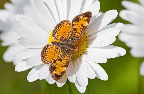 D-48-277 - Northern Crescent Butterfly. Huron County Nature Center. Oak Beach, MI.
