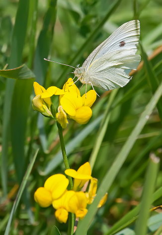 D-48-283 - Cabbage White Butterfly.