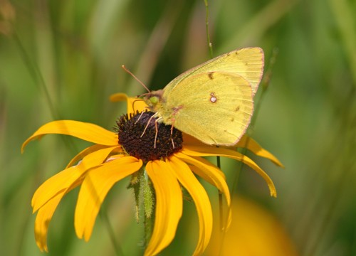 D-48-29 - A Clouded Sulphur Butterfly