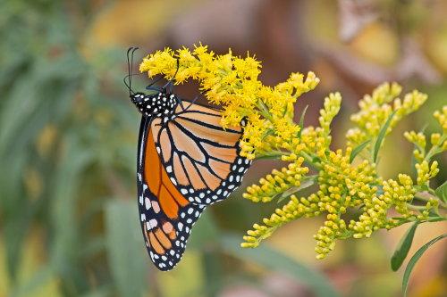 D-48-294 - Monarch Butterfly