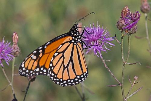 D-48-298 - Monarch Butterfly. Mud Creek Public Access. Bay Port, MI.