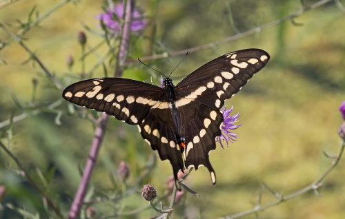 D-48-313 - Giant Swallowtail Butterfly. Mud Creek Public Access. Bay Port, MI.