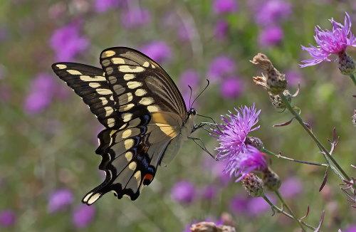 D-48-314 - Giant Swallowtail Butterfly.