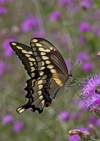 D-48-315 - Giant Swallowtail Butterfly.
