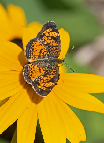 D-48-328 - Northern Crescent Butterfly