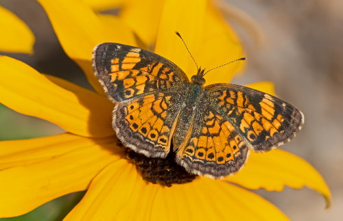 D-48-336 - Northern Crescent Butterfly