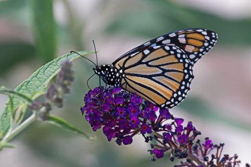 D-48-358 - Monarch Butterfly. Port Austin, MI.