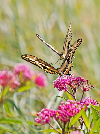 D-48-362 - Giant Swallowtail Butterflies. Fin N Feather Public Access. Bay Port, MI.