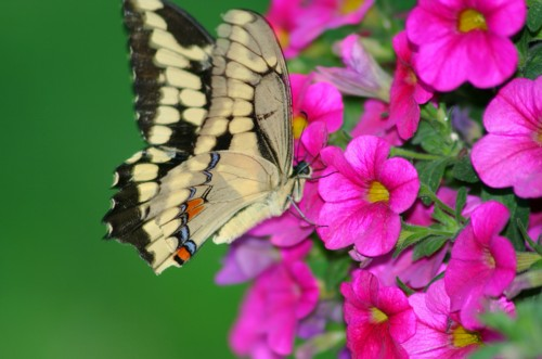 D-48-37 - Giant Swallowtail Butterfly. Pigeon, MI.