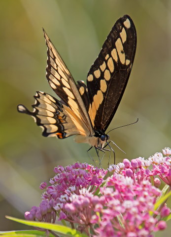 D-48-371 - Giant Swallowtail Butterfly. Fin N Feather Public Access. Bay Port, MI.