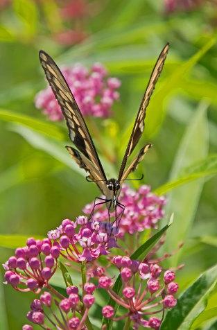 D-48-374 - Giant Swallowtail Butterfly. Fin N Feather Public Access. Bay Port, MI.