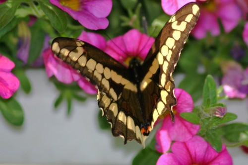 D-48-38 - A Giant Swallowtail butterfly