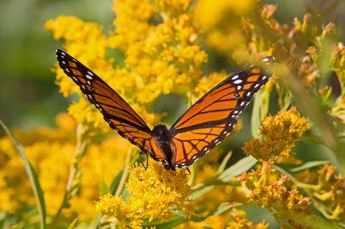 D-48-388 - Viceroy Butterfly on Goldenrod. Caseville, MI.