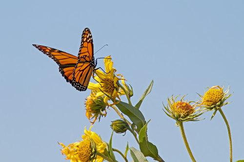 D-48-396 - Monarch Butterfly