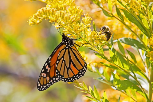 D-48-397 - Monarch Butterfly & Bumble Bee