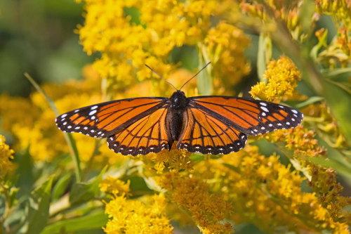 D-48-403 - Viceroy Butterfly