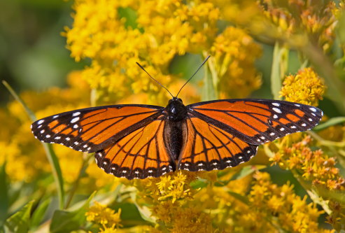 D-48-404 - Viceroy Butterfly.