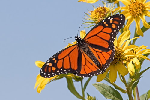 D-48-407 - Monarch Butterfly. Fish Point Wildlife Area. Unionville, MI.