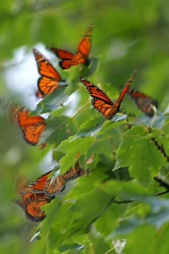 D-48-43- Monarch butterflies