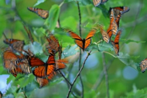 D-48-48- Monarch butterflies