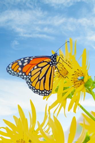 D-48-524 - Monarch Butterfly. Port Austin, MI.