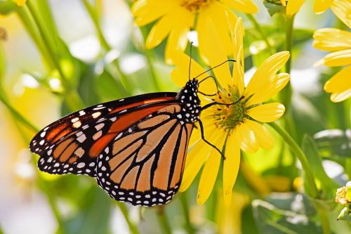 D-48-525 - Monarch Butterfly. Port Austin MI.