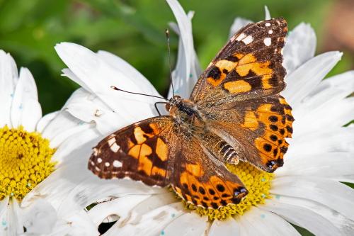 D-48-530 - Painted Lady Butterfly. Port Austin, MI.