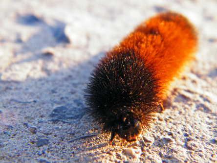 D-48-70 - A woolly bear caterpillar,
