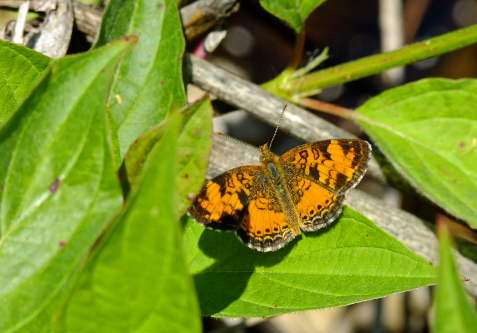 D-48-79 - Northern Crescent Butterfly.
