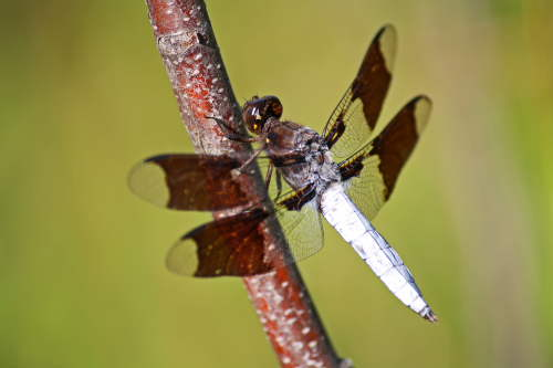 D-56-150 - Common Whitetail Dragonfly. Eagle Bay Public Access. Port Austin, MI.