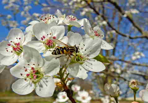 D-56-204 - Hover Fly on Pear Blossoms. Pigeon, MI.