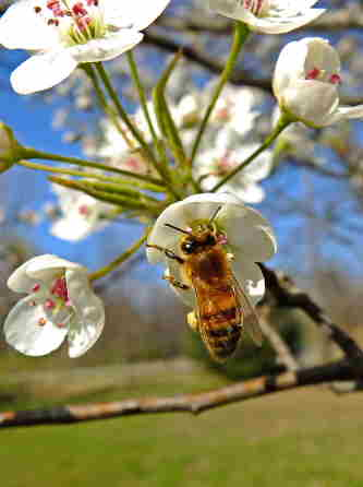 D-56-205 - Honey Bee on Pear Blossom. Pigeon, MI.