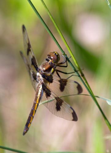 D-56-221 - Common Baskettail Dragonfly. Huron County Nature Center. Oak Beach, MI.