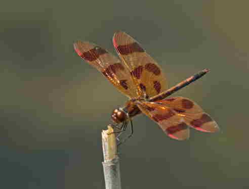 D-56-232 - Ruby Meadowhawk Dragonfly.