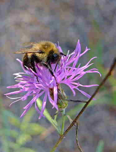 D-56-244 - Bumble Bee on a Wildflower. Port Crescent State Park Day Use Area. Port Austin, MI.