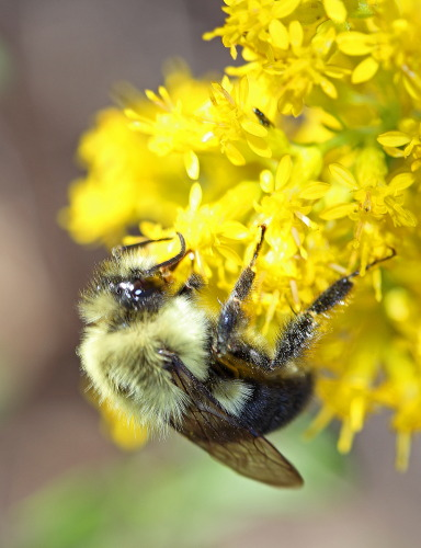 D-56-265 - Bumble bee on Goldenrod.