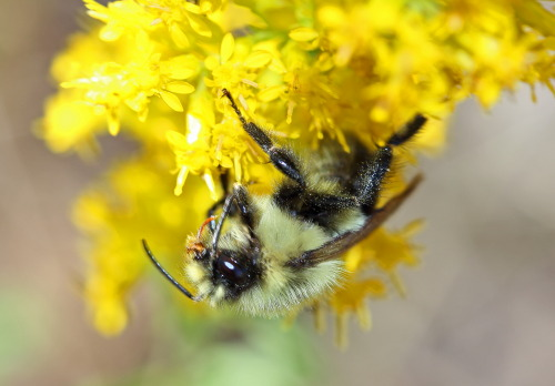 D-56-266 - Bumble Bee on Goldenrod. Port Crescent State Park Day Use Area. Port Austin, MI.