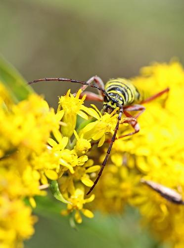D-56-273 - Locust Borer on Goldenrod