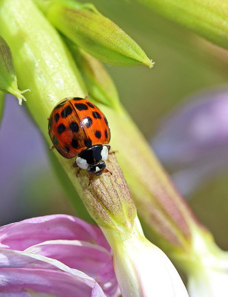 D-56-277 - Lady bug on flower