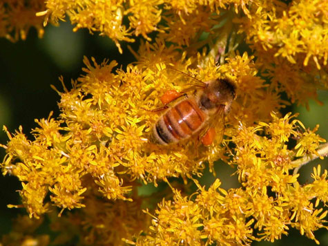 D-56-29 - A bee gathers pollen on Goldenrod