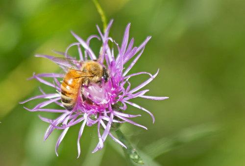D-56-294 - Bee on a purple flower.