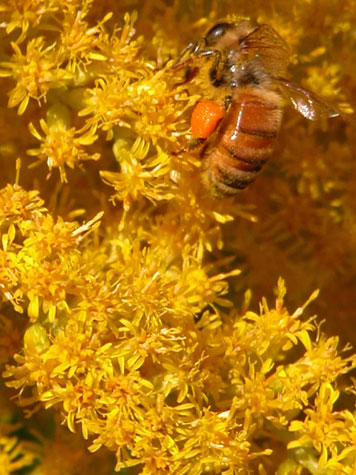 D-56-30 - Honey Bee on Goldenrod. Mud Creek Public Access. Bay Port, MI.