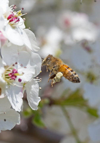 D-56-319 - Bee and apple blossoms