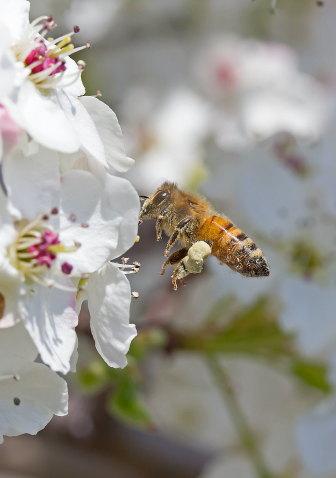 D-56-319 - Honey Bee on Apple Blossoms. Sebewaing, MI.